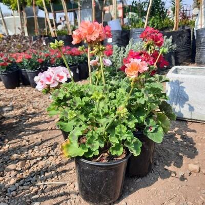 Geranium Pelargonium Zonale Mixed Colours 15cm