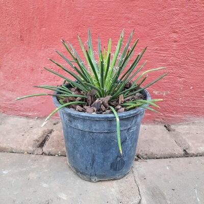 Agave Geminiflora 17cm Pot