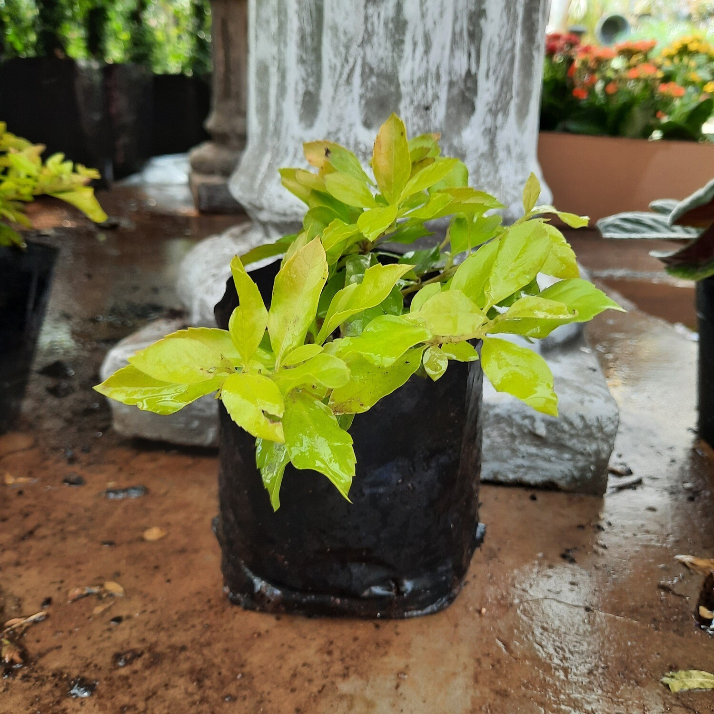 Duranta Gold 1L Landscaping