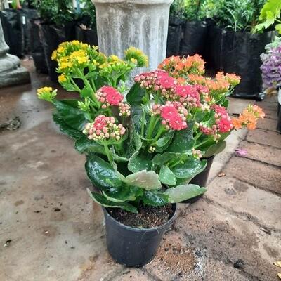 Kalanchoe Mixed Colours 12cm Pot