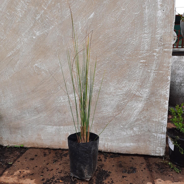 Juncus effesus 'Common Rush' 2L Landscaping