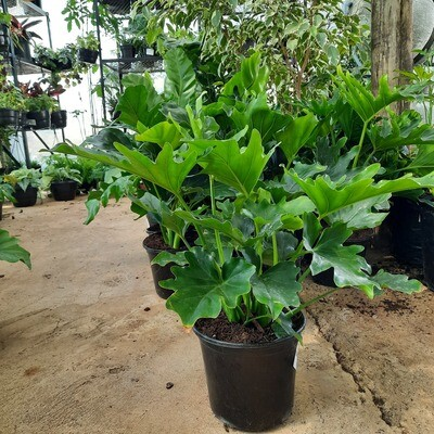 Philodendron Hope 17cm Pot
