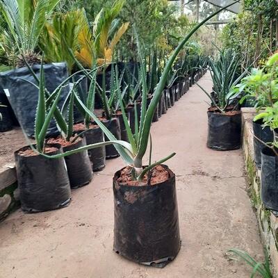 Aloe 10 liters