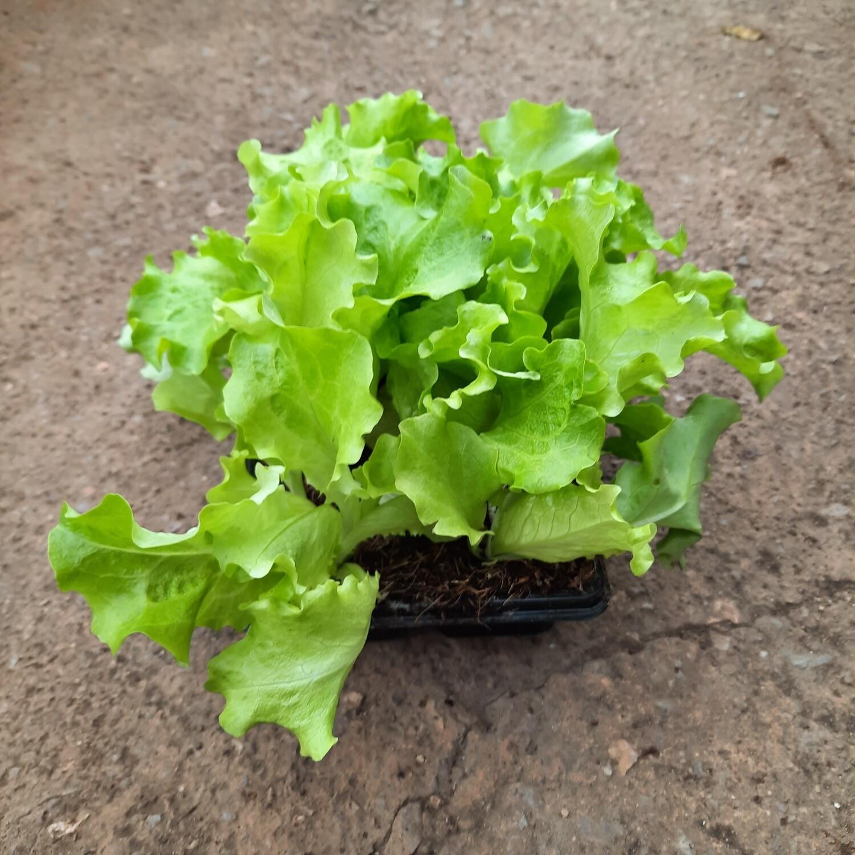 Lettuce Green Frilly 6 Pack Veg Seedlings
