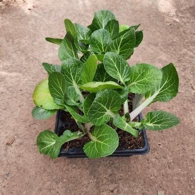 Pak Choi 6 Pack Veg Seedlings