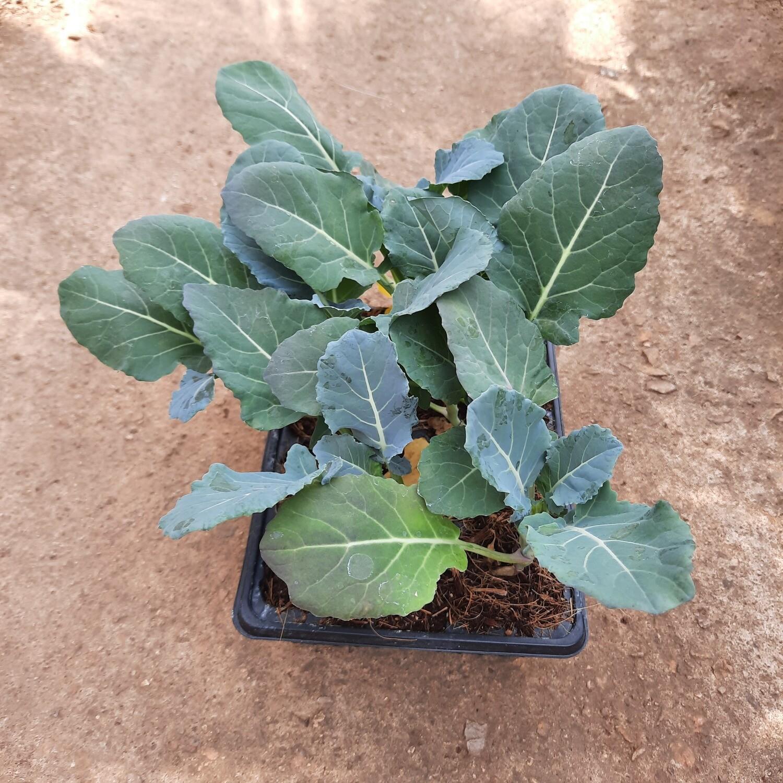 Broccoli 6 Pack Veg Seedlings