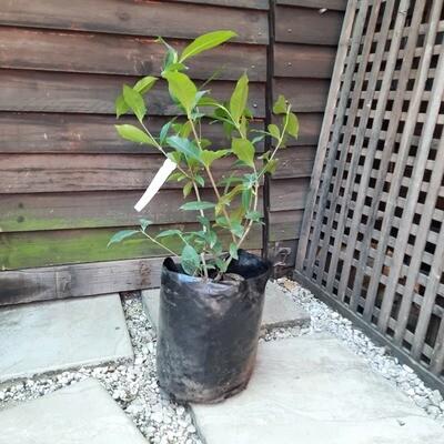 Gardenia Belmont 10L Landscaping