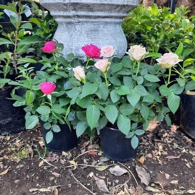 Rose Mixed Colours 14cm Pot