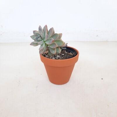 Terracotta Pot Standard 10cm