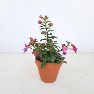 Terracotta Pot Standard 12cm