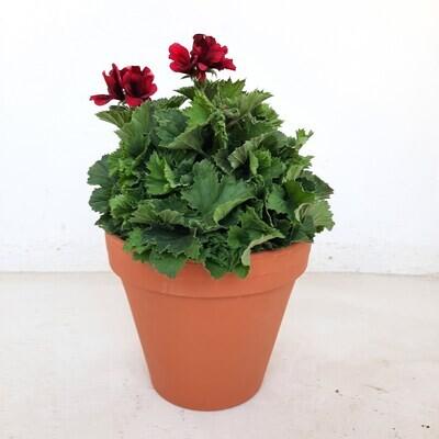 Terracotta Pot Standard 24cm