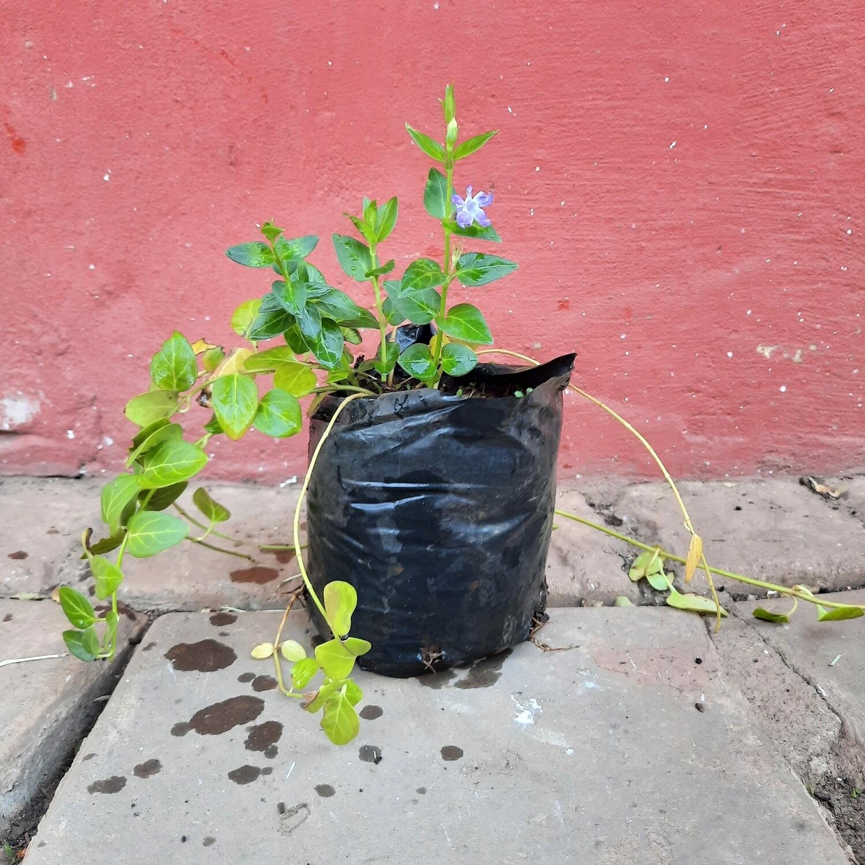 Vinca Green  2 liter