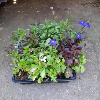 Lobelia Marine Blue Seedlings 6 Pack