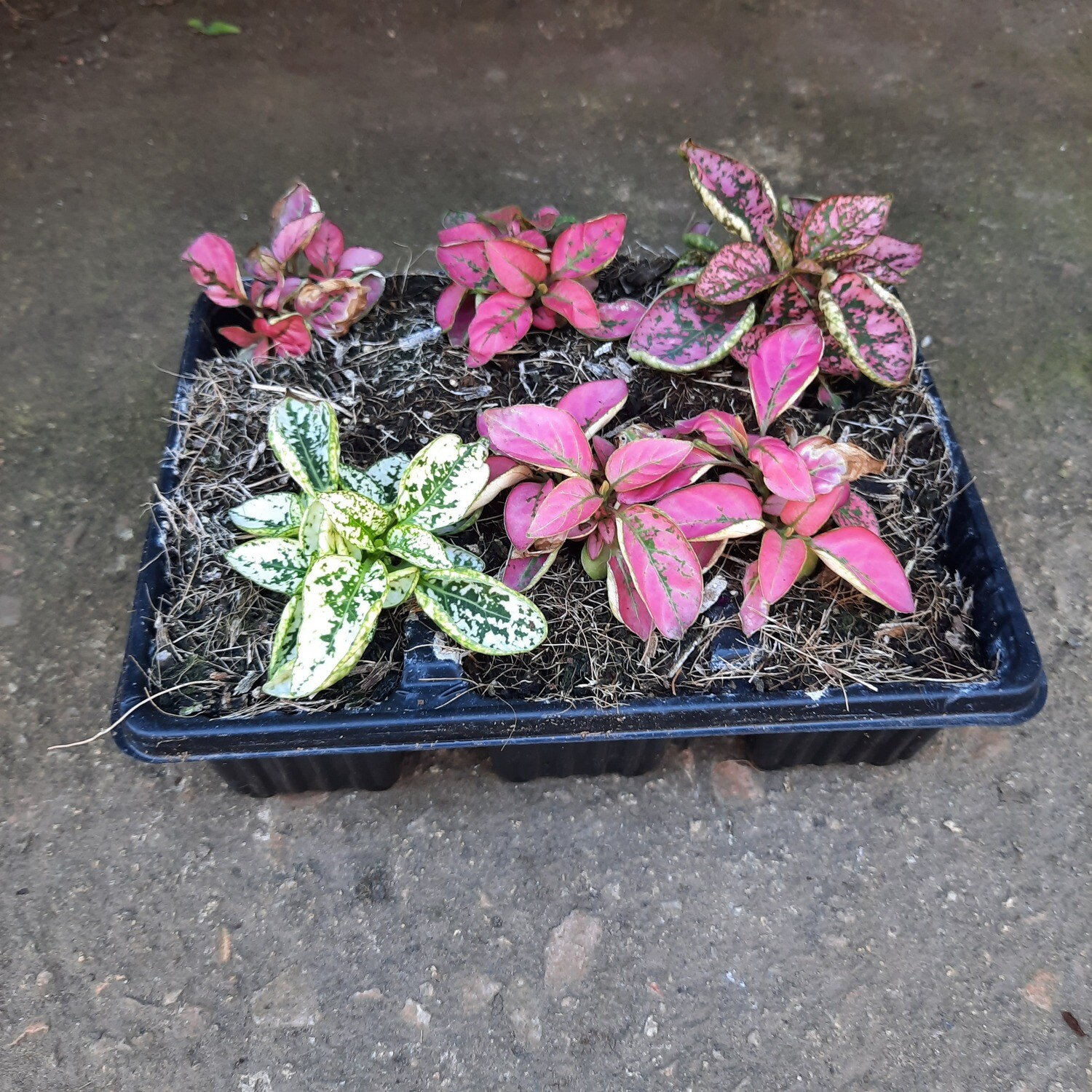 Hypoestes Mixed Colours Seedlings 6 Pack