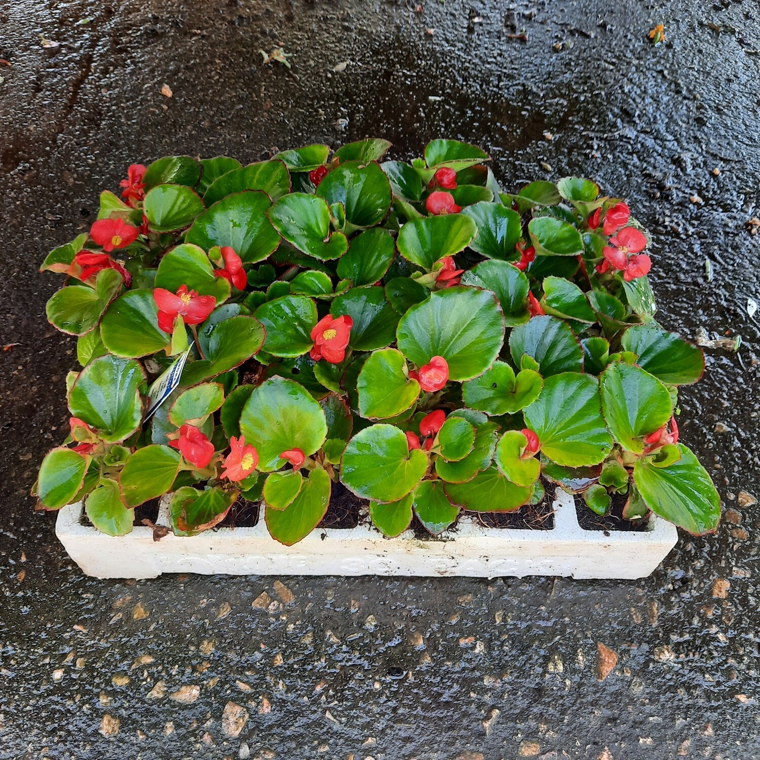 Begonias Green Mixed Colours Seedlings 30 Pack