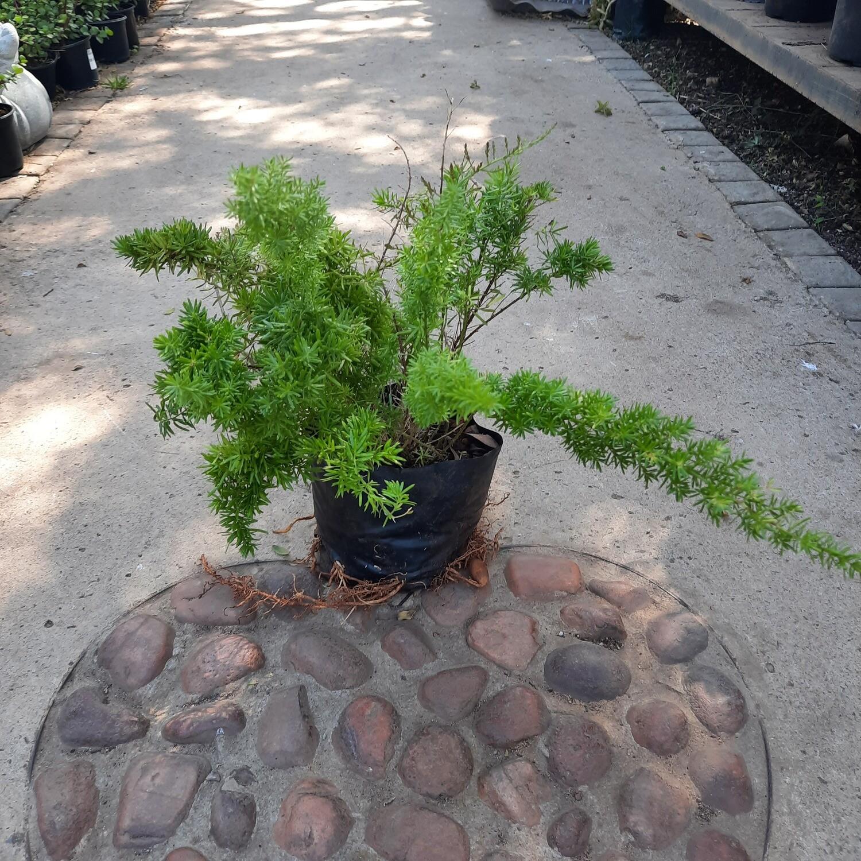Asparagus Mazepa 2 liter