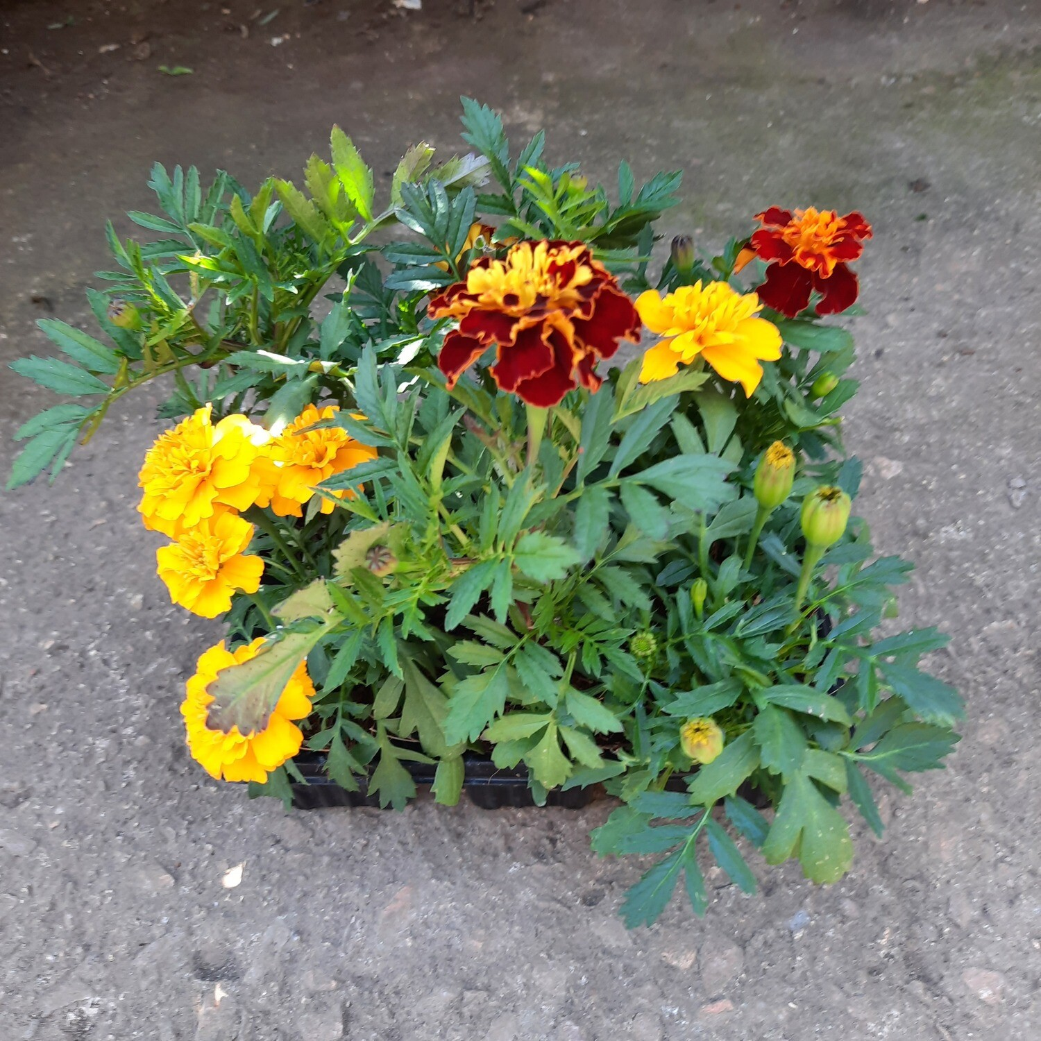 Marigold Cresta Mixed Colours Seedlings 6 Pack