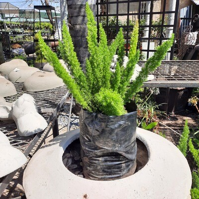 Asparagus Meyers 10 liter