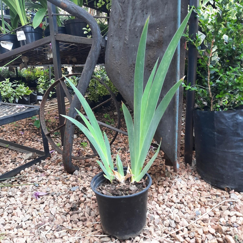 Dutch Iris 15cm Pots