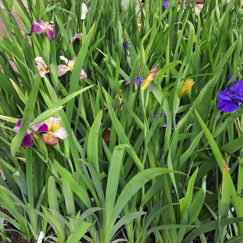 Iris Louisiana Mixed Colours +/- 1 Meter