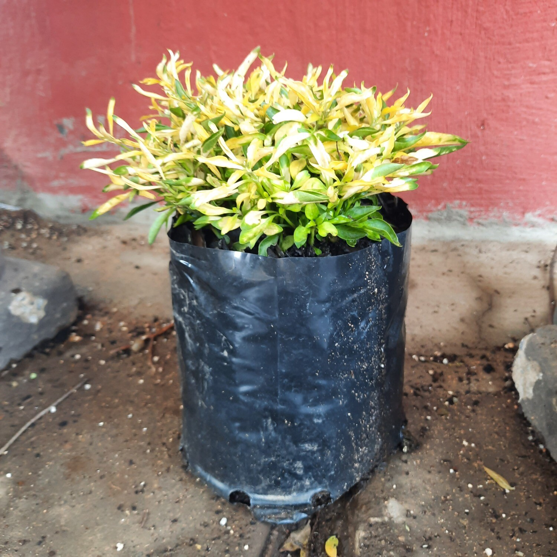 Alternanthera Green Gold 3 Liter