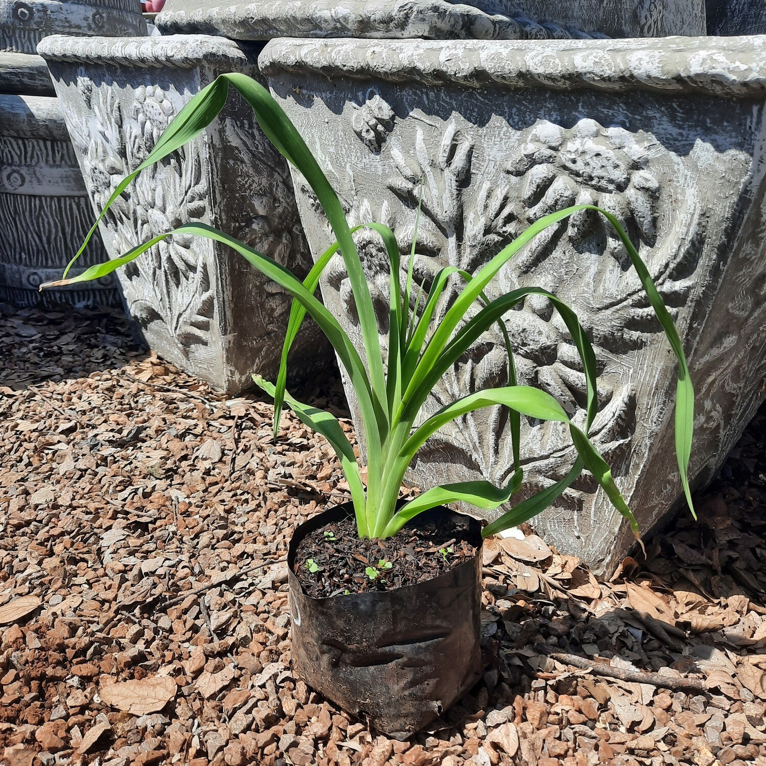 Day Lillies 4L - Landscaping Mix
