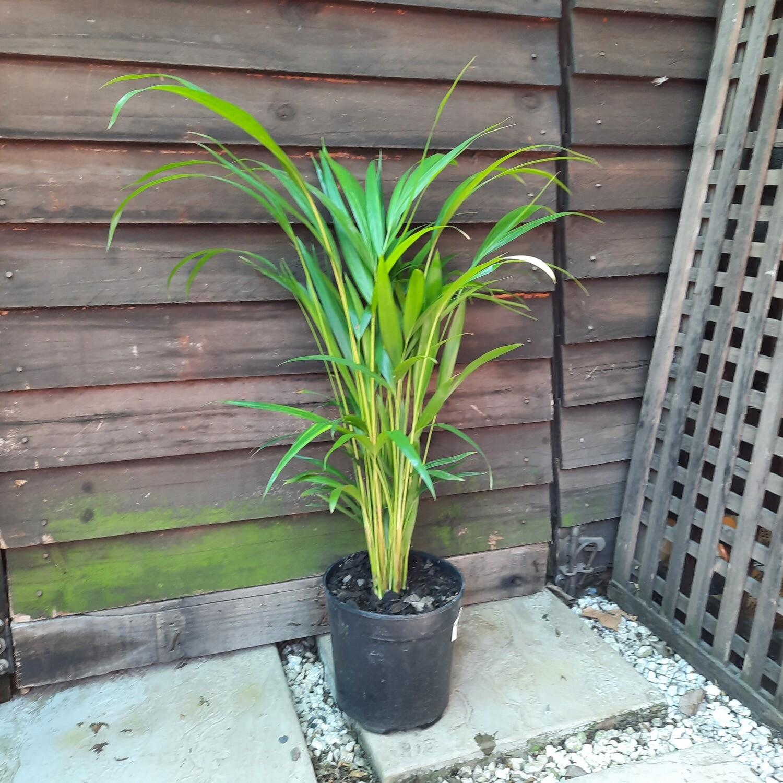 Bamboo Palm 19mm