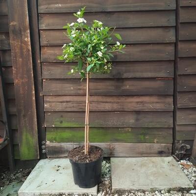 Solanum White Patio Standard 19cm Pot H800mm
