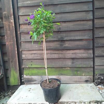 Solanum Purple Patio Standard 19cm Pot H800mm