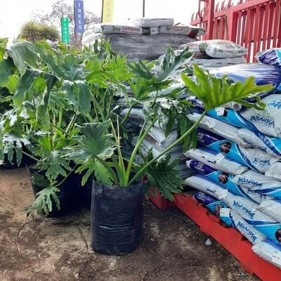 Philodendron Selloum 20 Liter