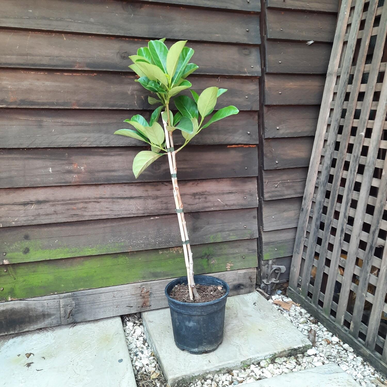 Viburnum Odoratissimum Standard 17cm Pot