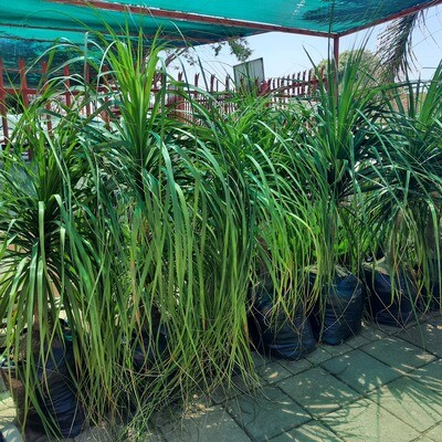 Ponytail Palms 40 Liters