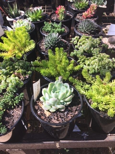 Succulent 12cm Mixed