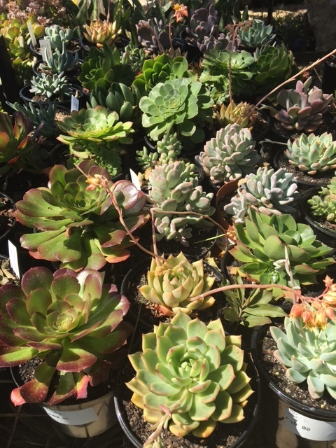 Succulent 15cm Mixed
