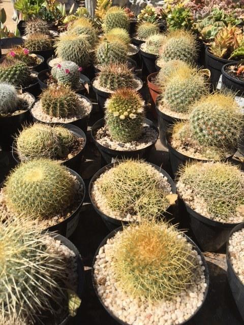 Cactus 12cm Mixed