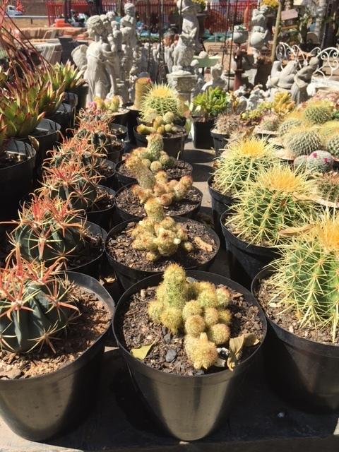 Cactus 15cm Mixed
