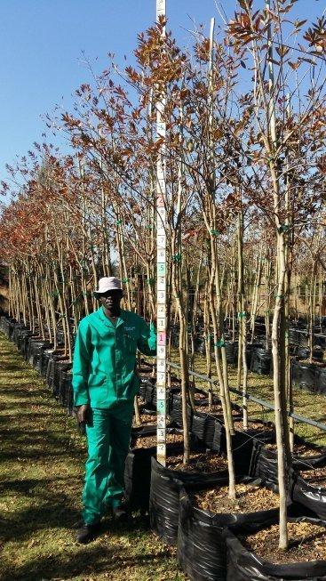 Combretum erythrophylum / River bush-willow 100L