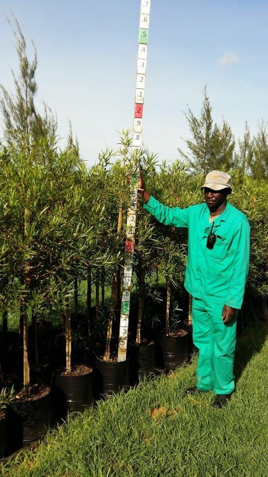 Searsia (Rhus) lancea / Karee tree 20L