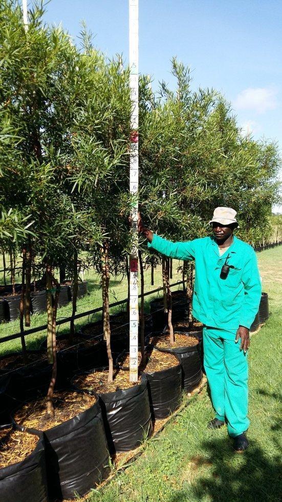 Searsia (Rhus) lancea / Karee tree 100L