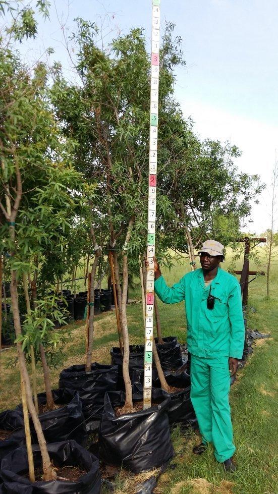 Searsia Pendulina / White Karee Tree 100L