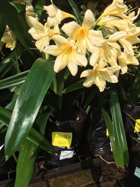 Yellow Clivia Citrina 5 liter starting to flower