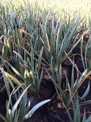 Wild Garlic 1L