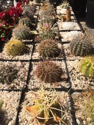 Cactus 10cm Mixed