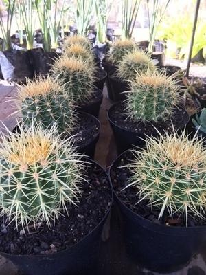 Cactus 18cm mixed