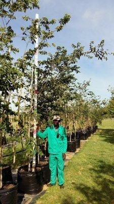 Celtis africana / White stinkwood 100L