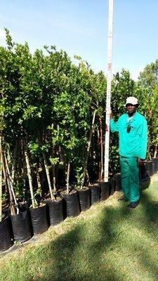 Combretum erythrophylum / River bush-willow 20L