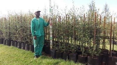 Olea europaea subsp. africana / Wild Olive 20L
