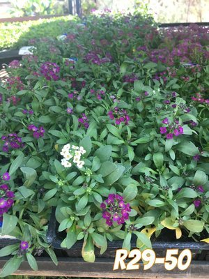 Alyssum Mixed Colours Seedlings 6 Pack