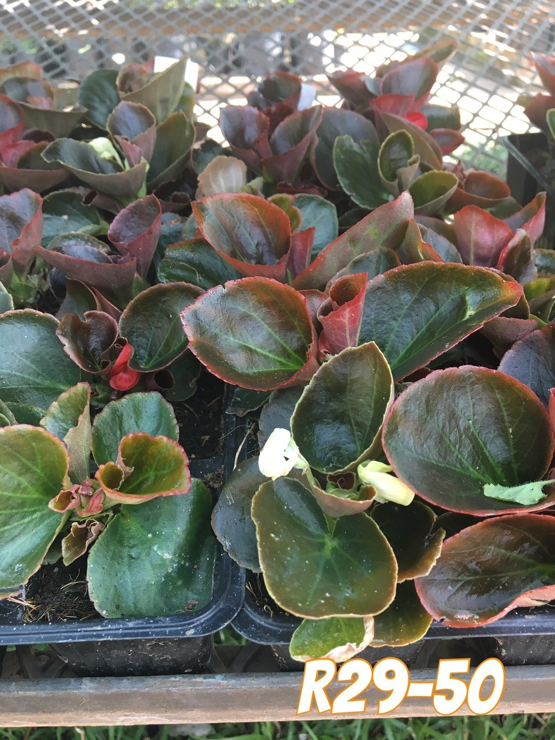 Begonia Bronze Leaf Mixed Colours Seedlings 6 Pack