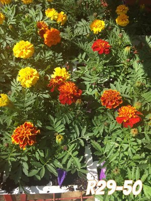 Marigold mixed colours 6 pack